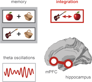 Theta oscillations from the hippocampus synchronize with the medial prefrontal cortex to link two separate memories.